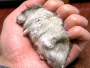 ジャンガリアンハムスターが冬眠するって本当??「冬眠からの回復方法と冬眠による死について」